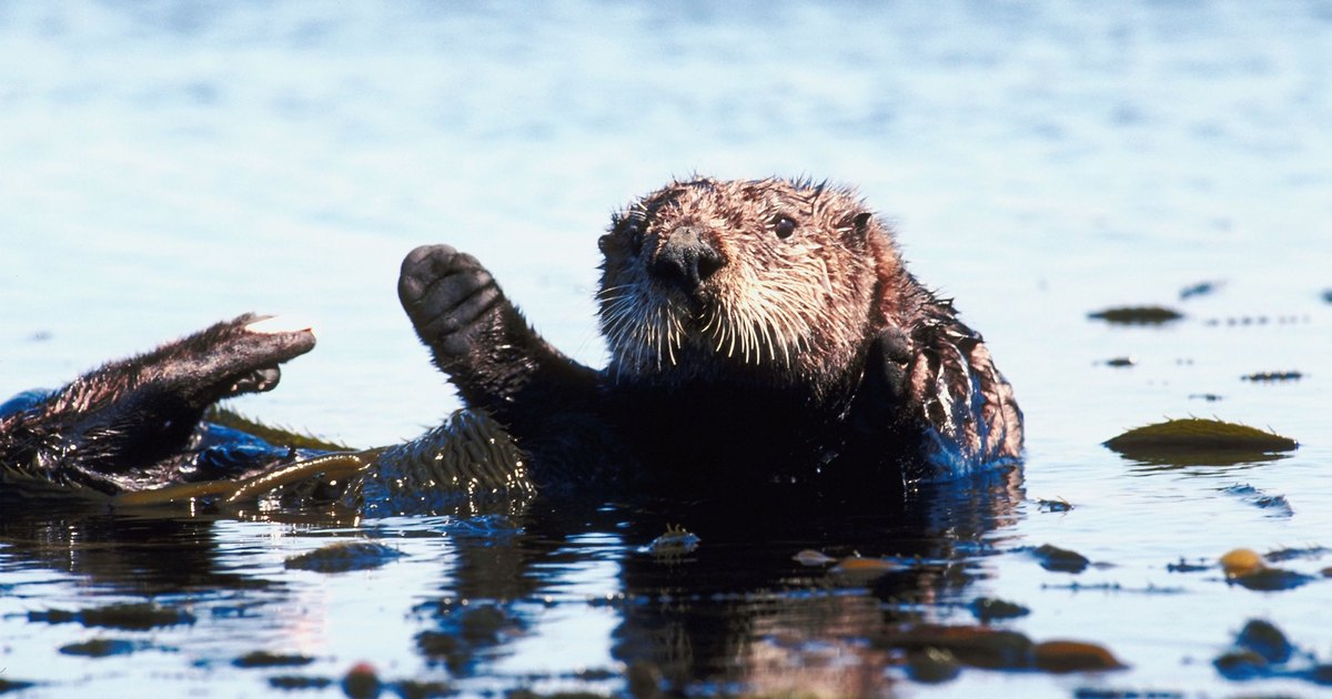 how to draw a sea otter easy