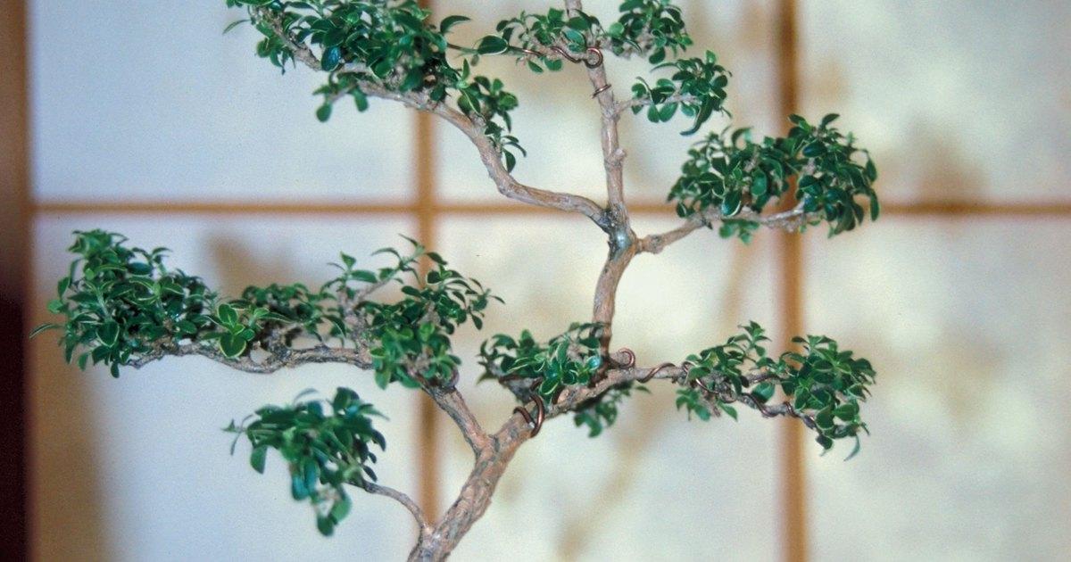 C mo cuidar un bonsai serissa rbol de las mil estrellas - Como cuidar un bonsai ...