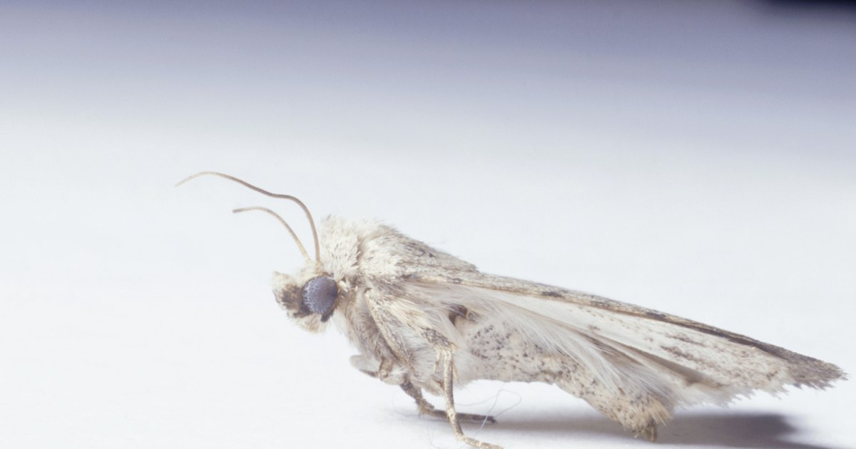 How To Kill Moths Larva Ehow Uk