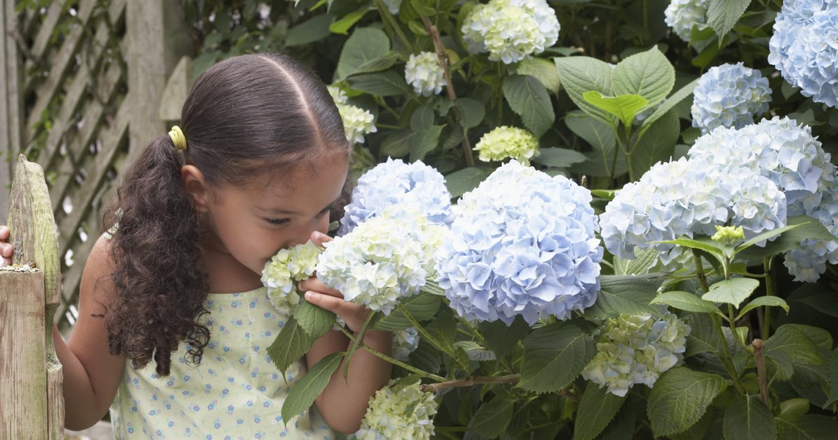 Care for hydrangeas in pots ehow uk - Care potted hydrangea ...