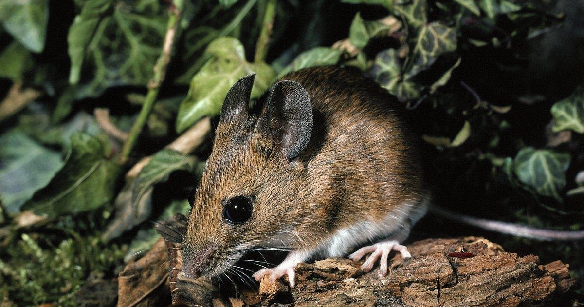 Repelente casero para ratas y ratones ehow en espa ol - Comida para ratones ...