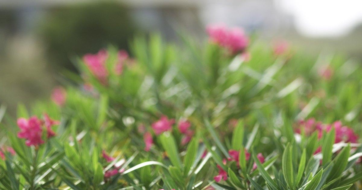 how to trim an oleander bush ehow uk. Black Bedroom Furniture Sets. Home Design Ideas