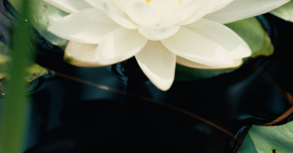 Interesting Facts On Water Lilies Ehow Uk
