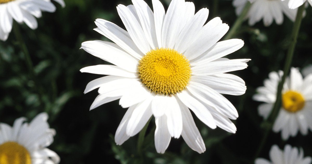 My marguerite daisy leaves are turning yellow ehow uk Where did daisies originate