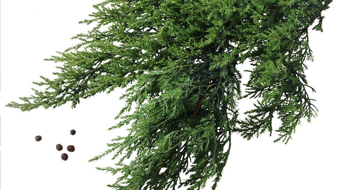 Planting Instructions For Eastern Red Cedar Tree Seedlings