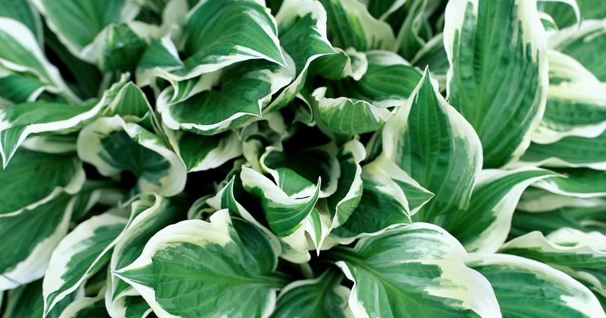 How To Prevent Bugs From Eating Hosta Plants Ehow Uk