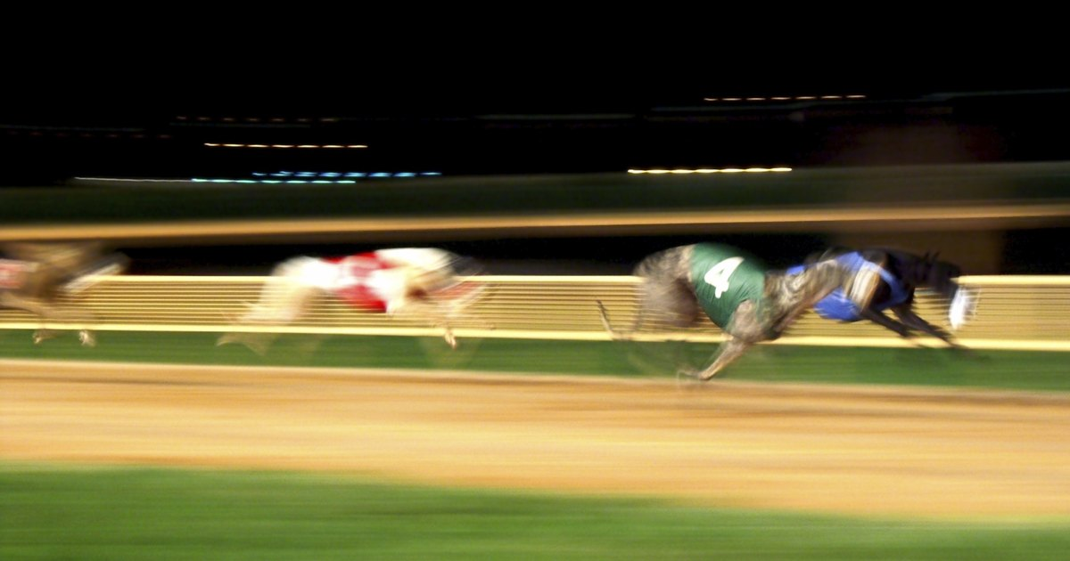 Bet on Greyhound Racing | Online Betting & Odds | Grosvenor Sport