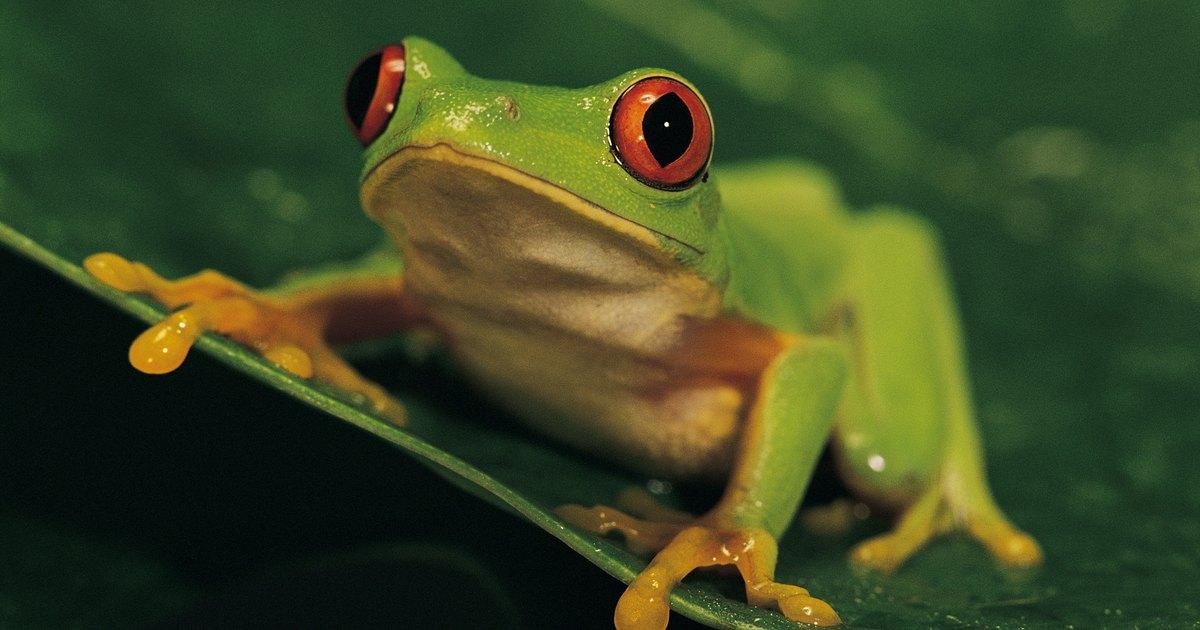 Pet Tree Frog Habitat Whites tree frogs (litoria