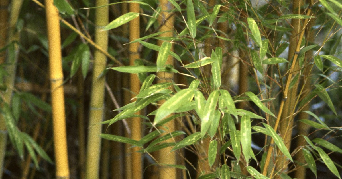 Eu consigo plantar bambu em um vaso ehow brasil - Bambu in vaso acqua ...