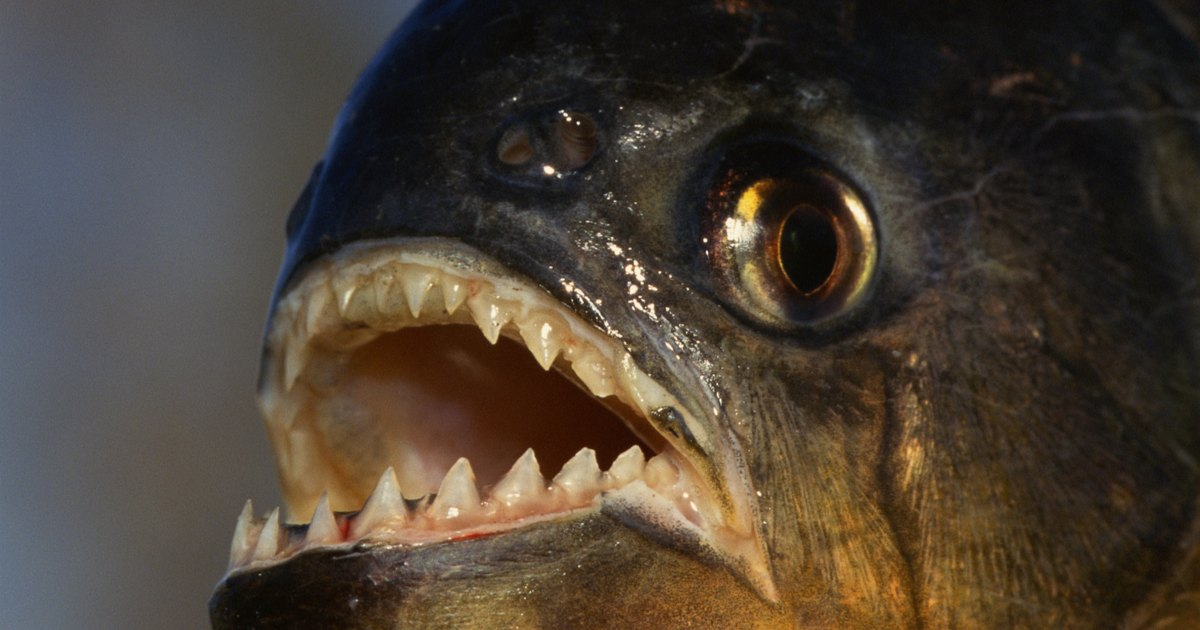 Piranha fish facts for kids ehow uk for Fish facts for kids