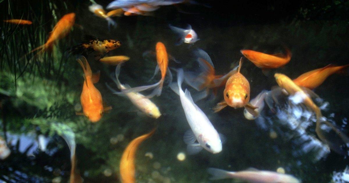 C mo limpiar el agua de un estanque de peces ehow en espa ol for Como mantener el agua limpia de un estanque