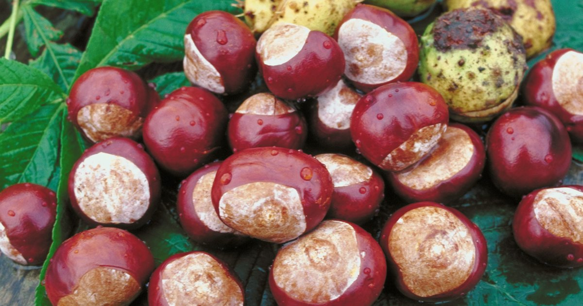 How to grow a horse chestnut seed ehow uk
