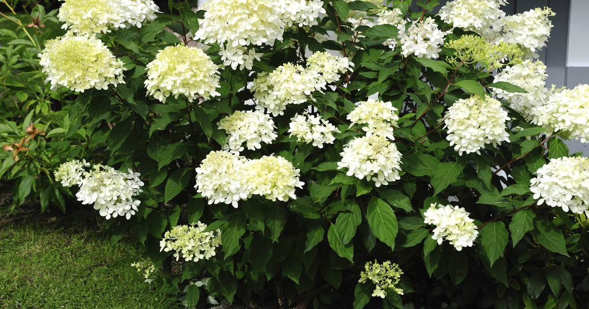 How to take care of a hydrangea bush during the winter months ehow uk - Nature curiosity stressed out plants emit animal like signals ...