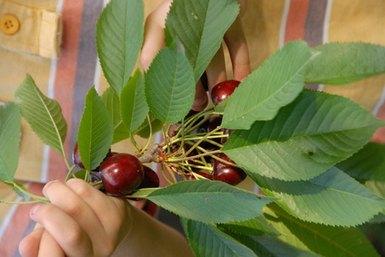 puedo plantar un hueso de cereza?   ehow en español