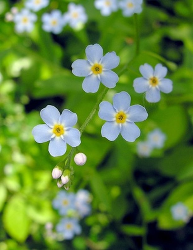 How do i draw a forget me not flower ehow uk how do i draw a forget me not flower ccuart Image collections