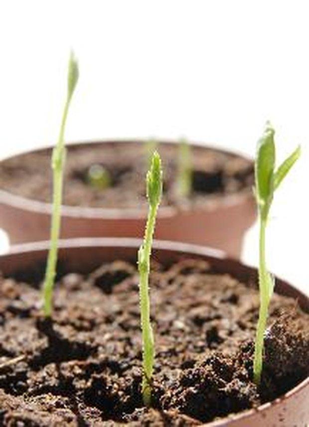 Semillas para plantar en macetas casa dise o for Plantar hortensias semillas