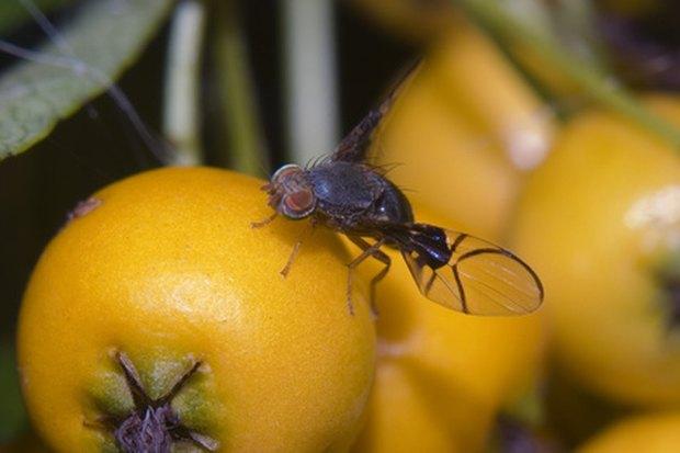 Resultado de imagem para mosca da fruta sem asas