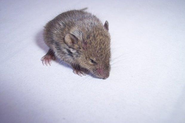 qu esencia repele a los ratones