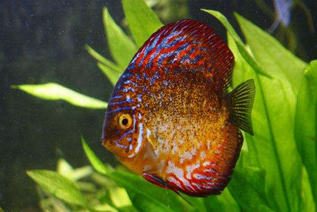 Tipo de peces de agua dulce interesting aphyocharax for Lista de peces tropicales para acuarios