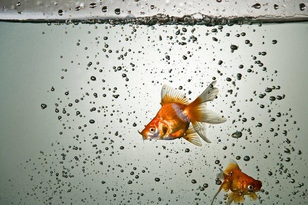 Female goldfish full of eggs