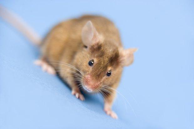 qu colores ven los ratones