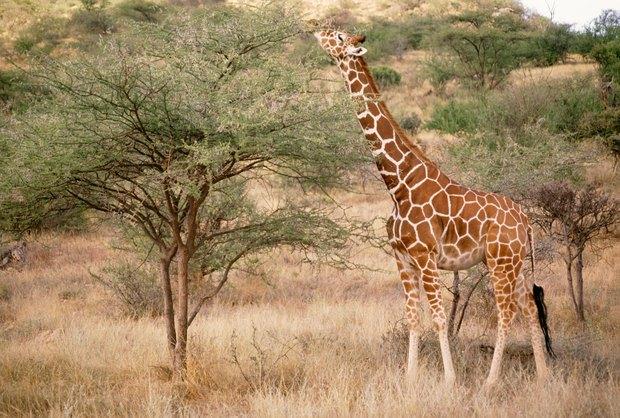 Physical & behavior adaptations of a giraffe | eHow UK