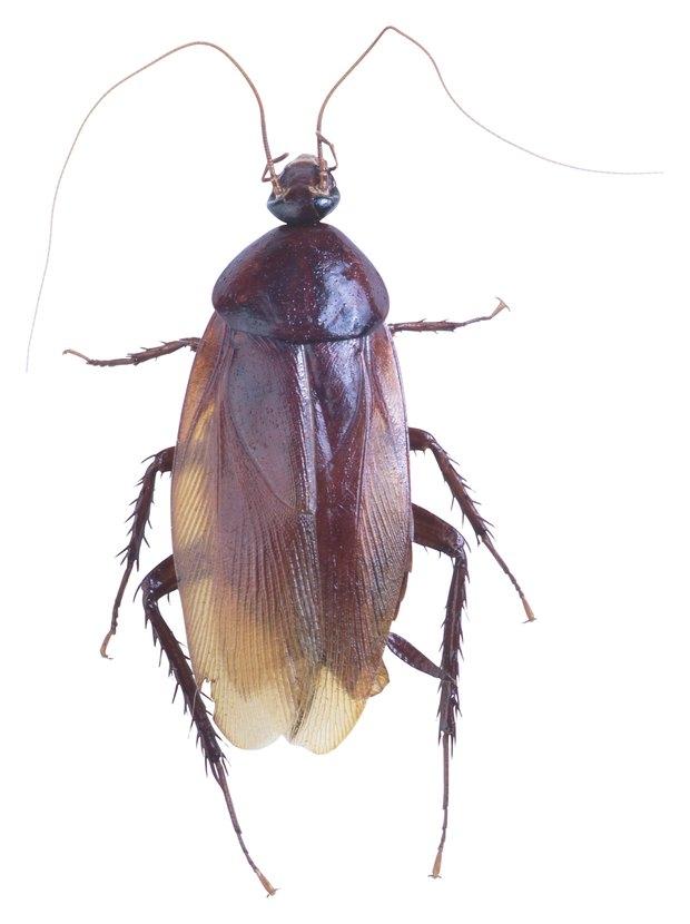 Efectos dañinos de las cucarachas