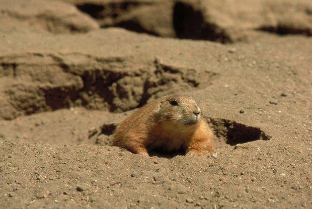 Resultado de imagem para Marmota