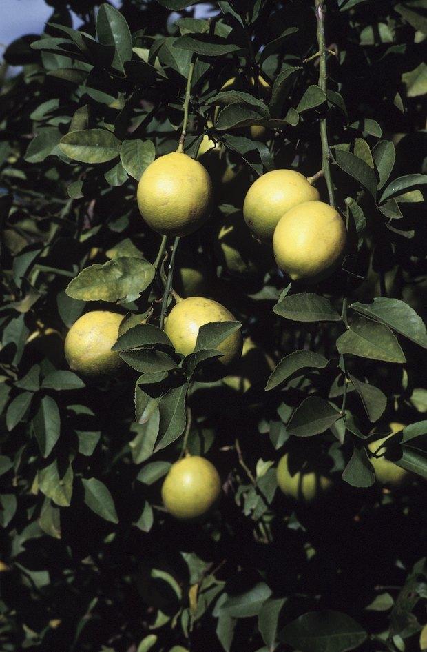 cómo criar a un árbol de limón eureka | ehow en español